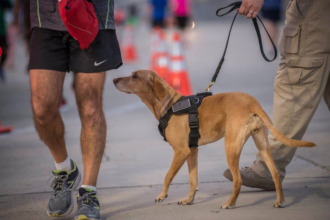 A security dog sniffs a runner before the 5K on the Runway Race at Tampa International Airport.