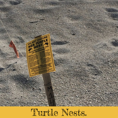 Turtle nest on Madeira Beach, Florida