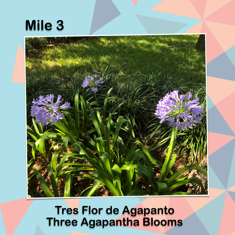 Cinco de Miler graphic for mile 3 has a photo of 3 Agapantha blooms in a garden.