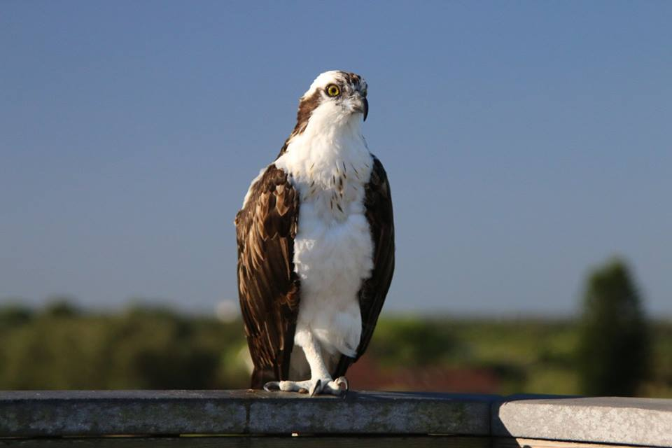 An Osprey is perched on the observation tower the morning of the Weedon Island Trail Race.